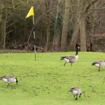 English Golf Club plans to shoot Canadian Geese hurting its property